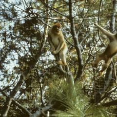 Rhinopithecus roxellana