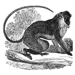 Climbing Diana Monkey Print