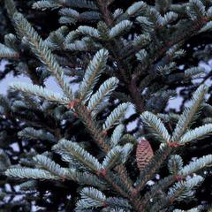Bough with a cone of Fraser fir