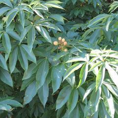 Horsechestnut - fruiting branch