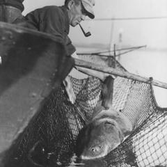 George LeClair catching six foot sturgeon in net.