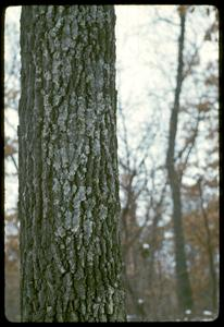 Trunk of a black oak tree with lichens