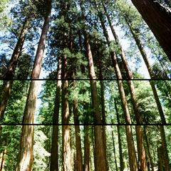 Grove of giant redwood trees