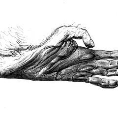 Main postérieure de lagothriche