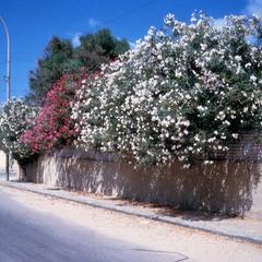 Laurel Trees Blooming by a Villa in Haj Andalus