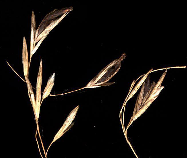 Claviceps on rye grain