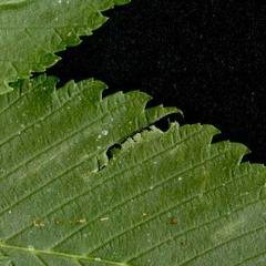 Ulmus leaf with double serrations at leaf margin