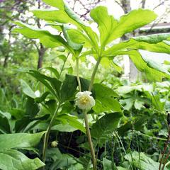 Flowering plant of Podophyllum peltatum