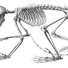 Skeleton of male Aye-aye