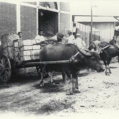 Tagalog natives load supplies onto a cart pulled by a water buffalo, Luzon, early 1900s