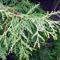 White cedar - branch with immature ovulate cones