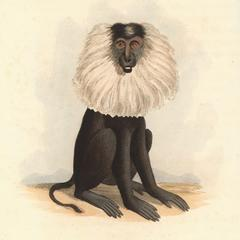 The Lion Tailed Baboon