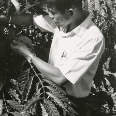 A Lao government agriculture extension worker inspects coffee beans in Attapu Province