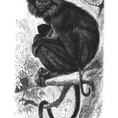 Negro Monkey