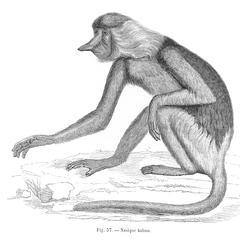 Nasique kahau (Long-nosed monkey of Borneo)