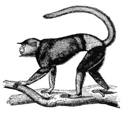 Red-Shanked Douc Langur Print