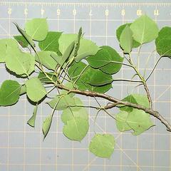 Underside of bough of trembling aspen