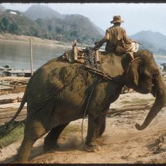 Elephant hauling teak