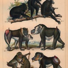 Celebes Crested Macaque, Drill, and Mandrill Group Print