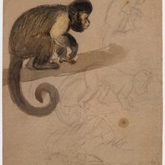 Capuchin Sketch