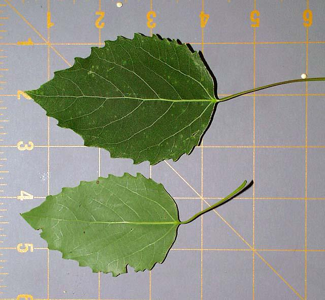 Leaves of Populus grandentata