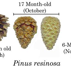 Red pine composite of cones : 6, 17 and 22-month old with mature cone