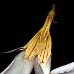 Dissected flower with view of the pistil of Nerium oleander
