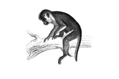 Guenon couronnée (crowned guenon)