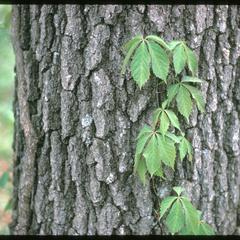 Woodbine on black oak, Madison School Forest