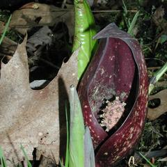 Skunk cabbage in flower in early spring