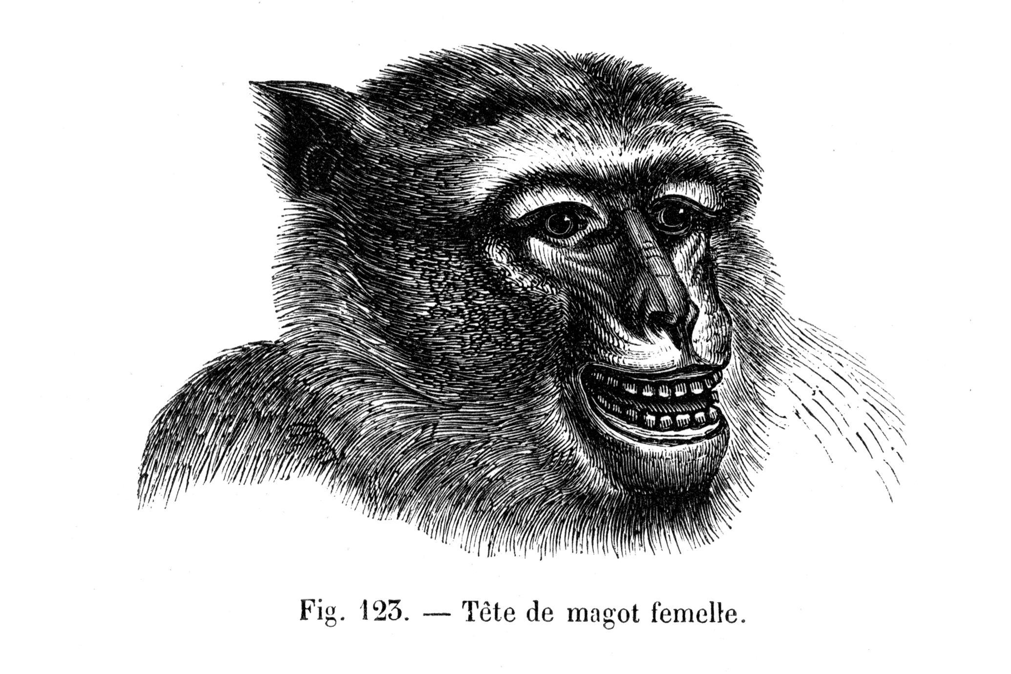 Tète de magot femelle