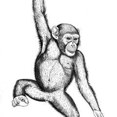 Chimpanzé jeune