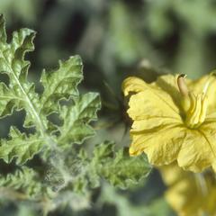 Flower of Solanum rostratum