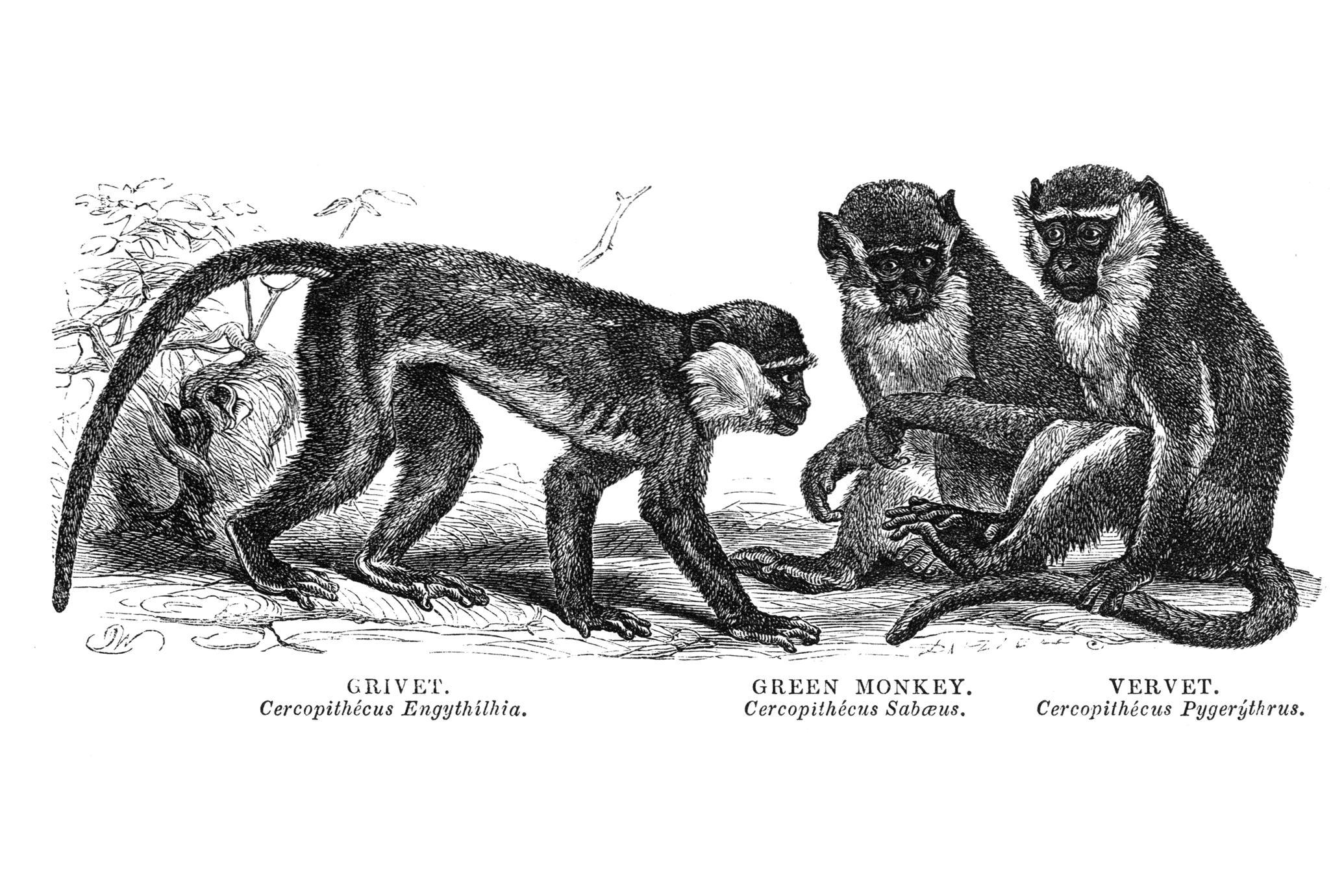 Grivet, Green Monkey, and Vervet