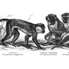 Grivet, Green Monkey, and Vervet
