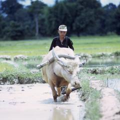 Plowing a rice paddy