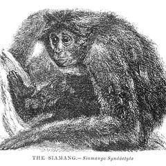 The Siamang