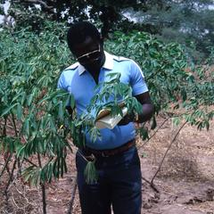 Evaluating Experimental Cassava Clones