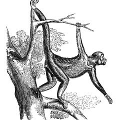 Swinging Spider Monkey Print