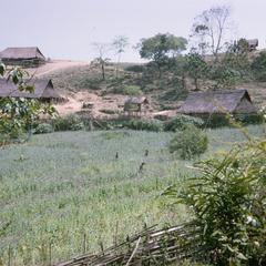Opium poppy fields