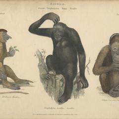 Proboscis Monkey, Gorilla, and Orangutan Print