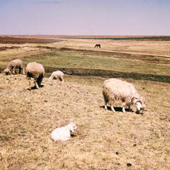 Angora Goats, the Major Source of Wool for Export, Grazing with Sheep