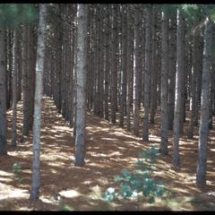 Pine plantation, note that the pines are planted in rows