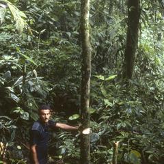 Carapa nicaraguensis east of Patricia Pilar