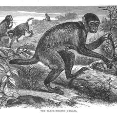 The Black-Headed Uakari