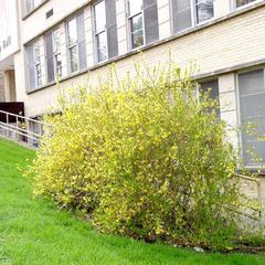 Flowering shrub of Forsythia