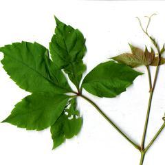 Leaf of Parthenocissus quinquefolia