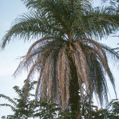 Acrocomia vinifera palm, Guanacaste