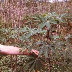 Cassava (Manioc) Tuber