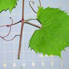 Leaf and tendril of Vitis riparia